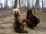 Doi ursi din rezervatia de la Zarnesti