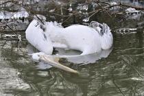 Pelican cret ucis in Delta