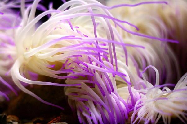 Anemonia Viridis, Anemona