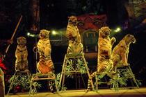 Dresura de tigri