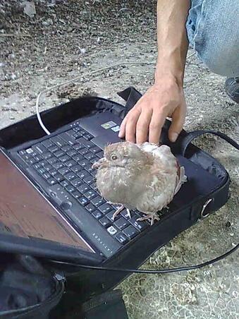 Porumbelul curios