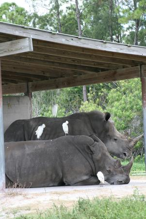 Rinoceri liberi, 10 oct 2009