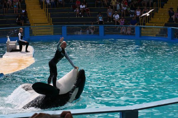 Balena ucigașă Lolita. Ucigașă? 16 oct 2009