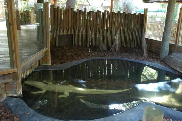 Aligatori albi (2)