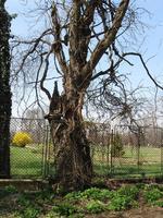 Copac sufocat de glicina