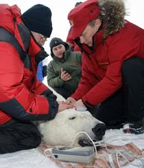 Vladimir Putin si ursul polar