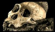 Craniu de Australopithecus sediba