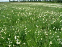 Rezervatia Poiana cu Narcise Negrasi