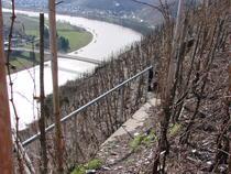 Plantatie de riesling in zona Mosel-Saar-Ruwer