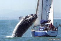 O balena de 40 de tone ataca un vas langa Cape Town