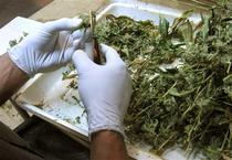 Restrictii in Olanda pentru vanzarea de marijuana