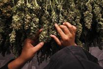 Muguri de marijuana