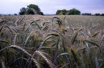 Cultură de cereale