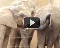Un elefant constipat
