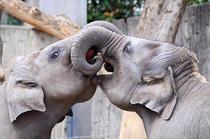 Elefanti la zoo