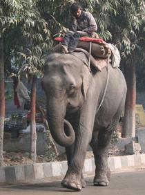 Unii chiar calaresc elefanti cand vorbesc la telefon