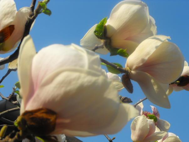 Parfum de magnolie