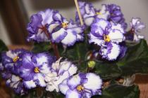 Fotogalerie: Expozitie de violete africane