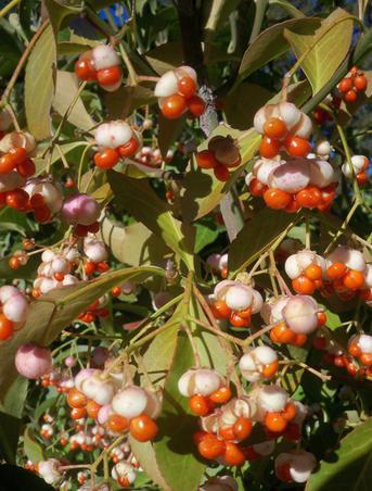 Fructe de padure (2)
