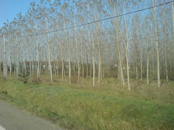 plantatie de plop