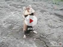Hamsterul sangeros