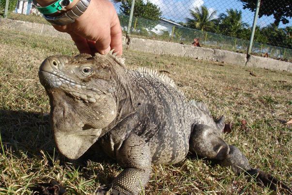Iguana (2)