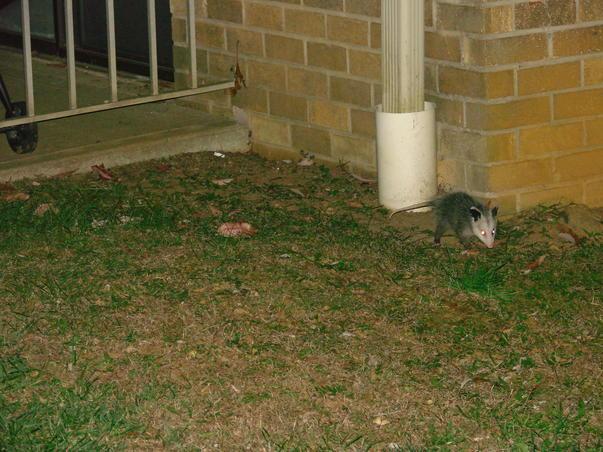 micul oposum