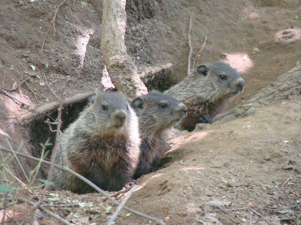 puisori de marmota