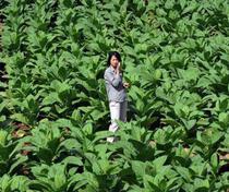 Munca pe plantatie