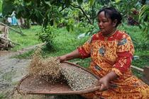 Sumatra Ketambe Coffee Indonesia