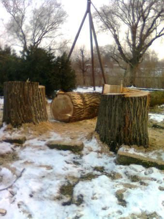taieri pe malul muresului, arad,executate asupra unor arbori(precum se vede) perfect sanatosi!!!