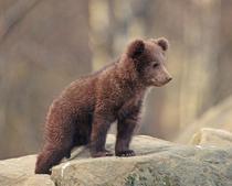 Salveaza ursul brun