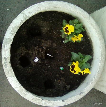 rominilor le plac florile (2)