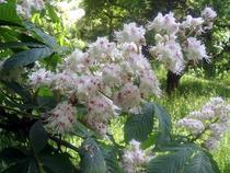 flori de castan