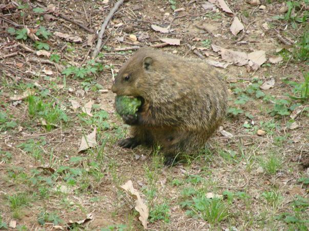 marmotica papa broccoli