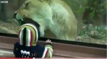 Micutul nu este intimidat de leoaica