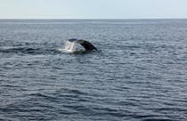 Familie de balene