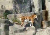 Tigrul speriat de-o pasare