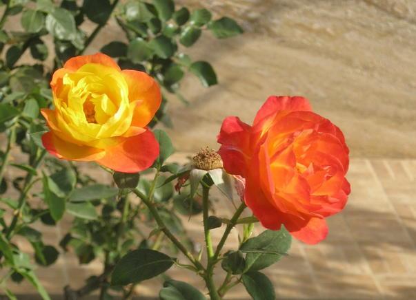 Trandafirii lui Octombrie
