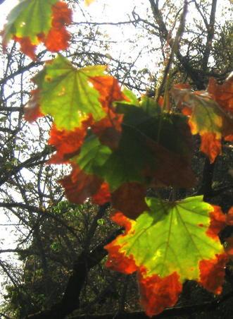 In octombrie frunzele ard