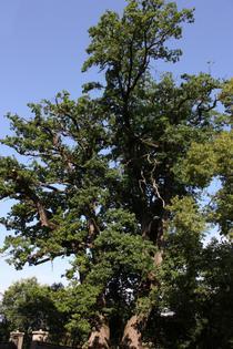Stejarii din Taietura (jud. Harghita)