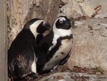 Pinguinii gay de la Gradina Zoologica din Toronto