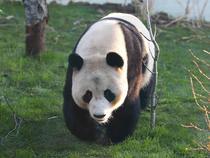 Ursoaica Tian Tian