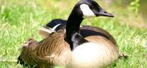 Foie gras se obtine din ficatul de gasca sau rata