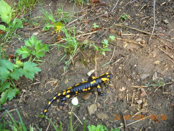 Salamandra stand la soare