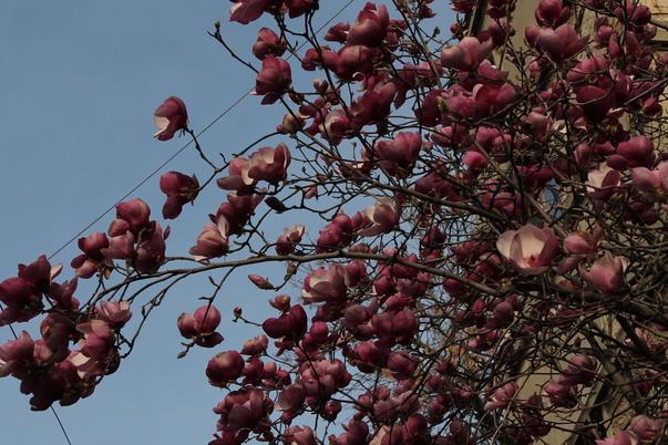 Au inflorit magnolii!