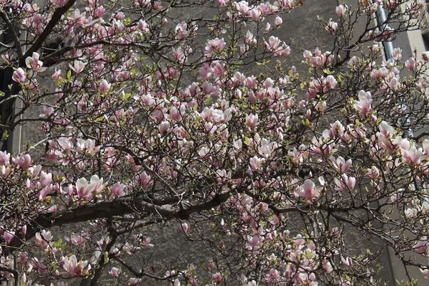 Au inflorit magnolii! (2)