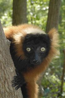 Lemurienii, amenintati cu disparitia