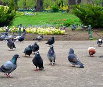 Panselute in parcurile bucurestene