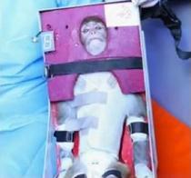 Maimuta trimisa in spatiu